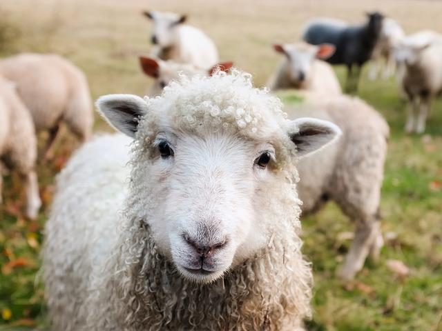 Like Sheep Without A Shepherd Glc